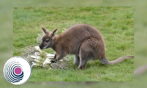 Plaatje Wallaby