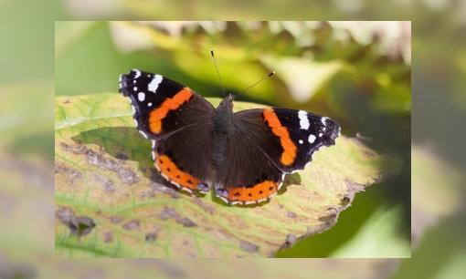 Atalanta meest getelde vlinder